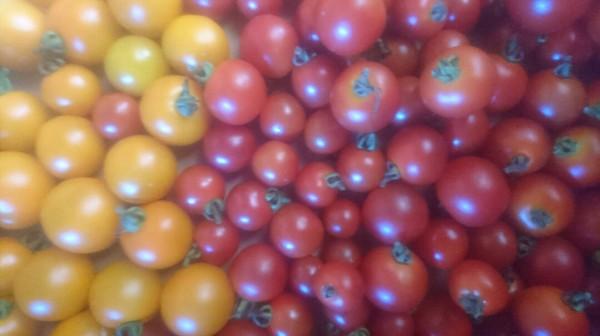ミニトマト09